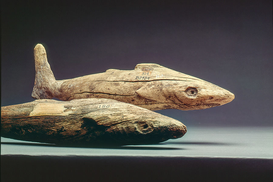 Shark images for the Bishop Museum